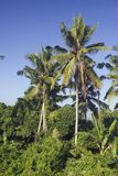 Coconut palm trees on Bali. Coconut palm trees and forest on Bali Indonesia stock photo