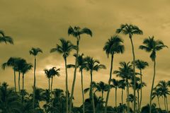 Coconut palm trees in bavaro beach Stock Images