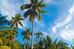 Coconut palm trees, beautiful tropical background, in blue sunny. Sky. Tropical background Royalty Free Stock Images