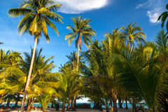 Coconut palm trees, beautiful tropical background, in blue sunny. Sky. Tropical background Royalty Free Stock Image