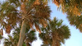Coconut palm trees, beautiful tropical background. Palm branches with leaves crumpled in the wind, slow motion, tilt down. Palm trees blowing in the wind. Tops stock video footage