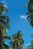 Coconut palm trees Royalty Free Stock Photo