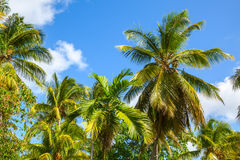 Coconut palm trees on blue sky background Stock Image