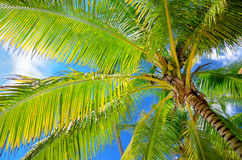 Coconut palm trees in the blue sky with fluffy clouds perspectiv Royalty Free Stock Image