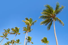 Coconut palm trees on clear blue sky background Royalty Free Stock Photos
