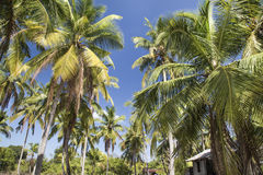 Coconut palm trees with coconut under blue sky background. Coconut palm trees coconut under blue sky background Royalty Free Stock Photography