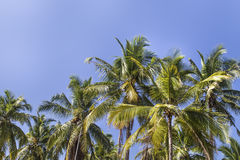 Coconut palm trees with coconut under blue sky background Royalty Free Stock Photos