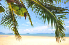 Coconut palm trees with coconuts fruit on tropical beach background. At Phayam island in Ranong province, Thailand. Happy summer holiday concept Royalty Free Stock Photo