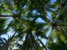 Coconut palm trees with coconuts Royalty Free Stock Image