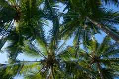 Coconut palm trees with coconuts perspective view Royalty Free Stock Photo