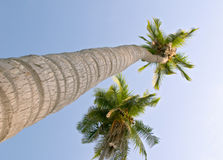 Coconut palm trees (Cocos nucifera) Royalty Free Stock Photography