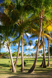 Coconut palm trees in Dominican Republic Stock Image