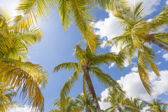 Coconut palm trees Stock Photography