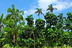 Coconut palm trees in forest Royalty Free Stock Photography