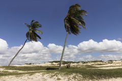 Coconut palm trees - Genipabu dunes in Natal, RN, Brazil Royalty Free Stock Photography