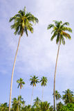 Coconut Palm Trees Grove Stock Photos