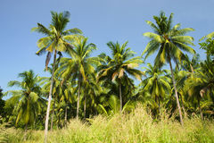 Coconut Palm Trees Grove Stock Image
