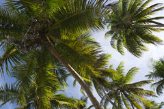 Coconut Palm Trees Grove From Below Royalty Free Stock Image