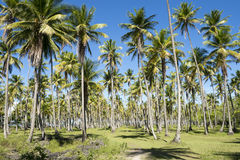 Coconut Palm Trees Grove Blue Sky. Bright grove of tall palm trees in a plantation on the Coconut Coast Nordeste Bahia Brasil Stock Images
