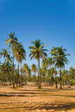 Coconut palm trees grove in India Royalty Free Stock Photo