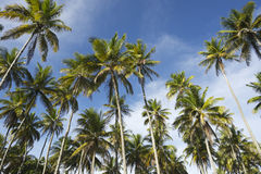 Coconut Palm Trees Grove Standing in Blue Sky. Grove of tall green coconut palm trees standing in bright blue tropical sky Nordeste Bahia Brazil Stock Image