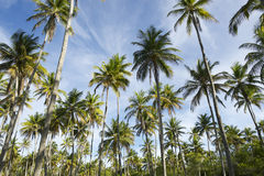 Coconut Palm Trees Grove Standing in Blue Sky. Grove of tall green coconut palm trees standing in bright blue tropical sky Nordeste Bahia Brazil Royalty Free Stock Images