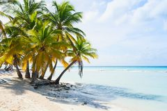 Coconut palm trees grow on white sandy beach Royalty Free Stock Photography