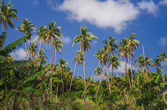 Coconut palm trees Royalty Free Stock Photography