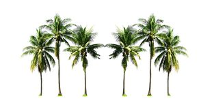 Group of coconut palm trees growing up on the sea beach at Phuket Island south of Thailand isolated on white background. Coconut palm trees growing up on the stock photo