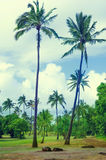 Coconut Palm trees in Hawaii (vintage style) Royalty Free Stock Photos