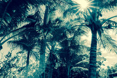 Free Coconut Palm Trees In Tropical Niue Sun Flare Through Fronds Royalty Free Stock Image - 93750896