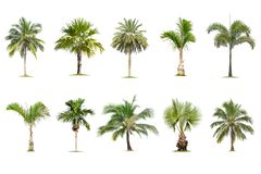 Coconut and palm trees Isolated tree on white background , The collection of trees.Large trees are growing in summer royalty free illustration