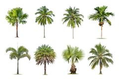 Coconut and palm trees Isolated tree on white background , The collection of trees. Large trees are growing in summer, making the trunk big royalty free stock photo