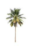 Coconut palm trees isolated on white background Royalty Free Stock Images