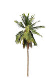 Coconut palm trees isolated on white background Stock Image