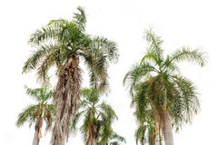 Coconut palm trees isolated Stock Image