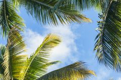 Coconut palm trees leaves over blue cloudy sky. Background Royalty Free Stock Images