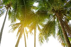 Coconut palm trees low angle view with bright sun shine.  Stock Photo