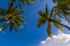 Coconut palm trees at Maldives. In front of dramatic sky Royalty Free Stock Image