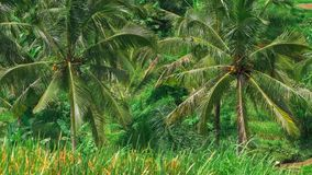 Coconut palm trees moving by the wind on Tegalalang Rice Terrace. Bali. Indonesia stock video