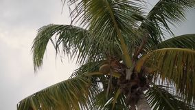 Coconut palm trees stock video