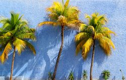 Coconut palm trees over blue wall sun shadows Stock Image