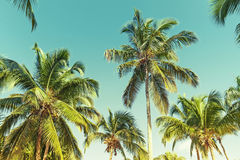 Coconut palm trees over sky background. Vintage style Stock Images