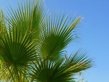 Coconut palm trees. Royalty Free Stock Photo