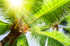 Coconut palm trees. Stock Photo