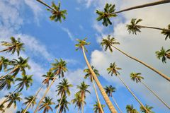 Coconut palm trees perspective view Stock Images