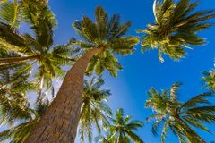 Tropical palm trees from a low point of view. Looking up palm trees under blue sky. Coconut palm trees perspective view. Blue sky and green palm trees and Stock Photos
