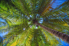 Coconut palm trees perspective view Stock Image
