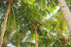 Coconut palm trees perspective view Royalty Free Stock Photos