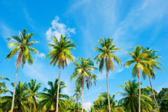 Coconut palm trees perspective view Royalty Free Stock Images